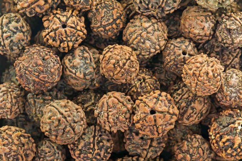 Rudraksha, semi di frutti di Elaeocarpus Ganitrus